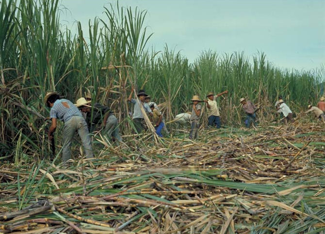Sugar cane croppers